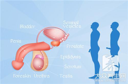 阴茎和睾丸-第3张